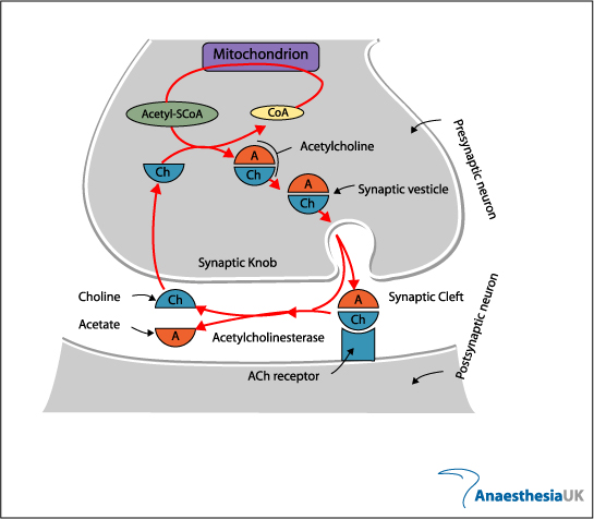 Anaesthesia UK : The neuromuscular junction