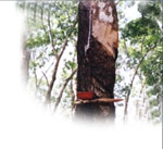 The Hevea Tree from which latex is harvested