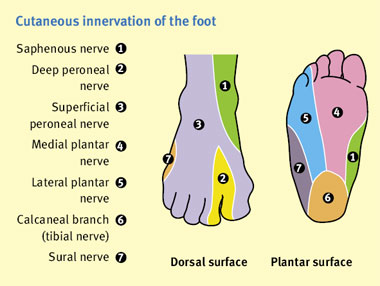 Cutaneous innervation of the foot