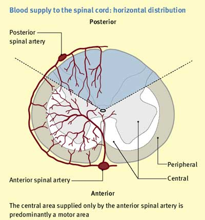 Figure 5. Blood supply to the spinal cord (ii)
